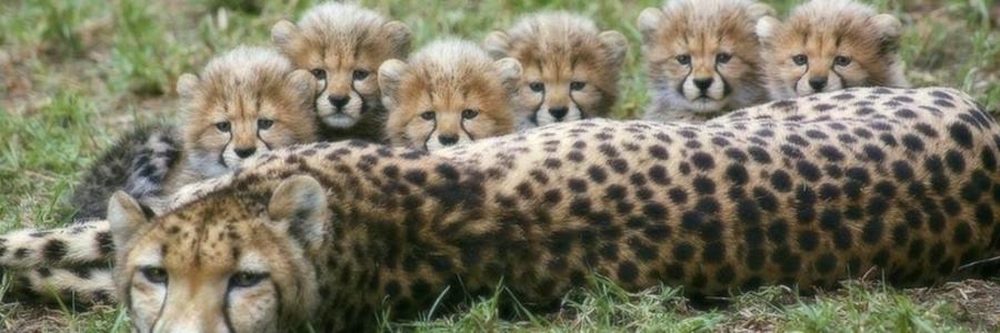 6 Çita Yavrusu