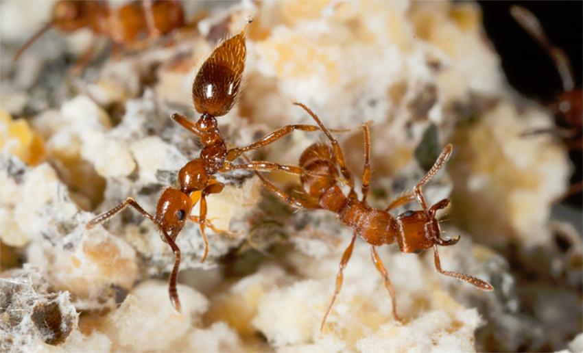 Çiftçi Karıncaları Koruyan Asker Karıncalar