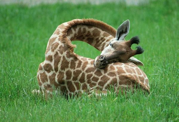 Yavru Zürafanın Uykusu