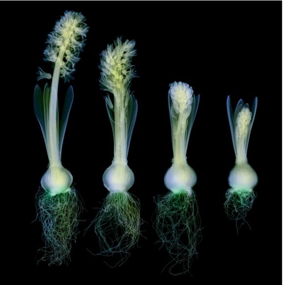 Çiçeklerin renkli röntgenleri