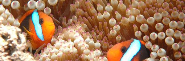 Palyaço Balıklarının Deniz Şakayıklarına Yardımı