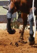Vahşi atlar nasıl ehlileştiriliyor?