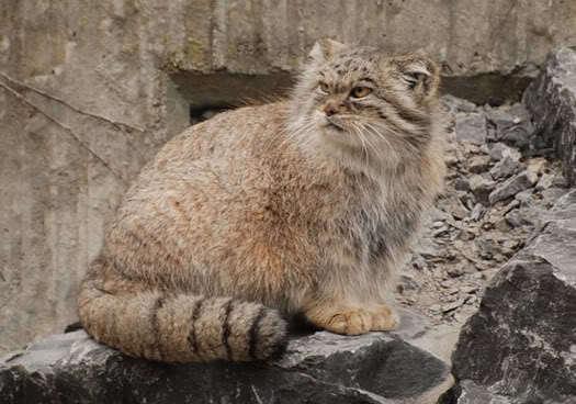 8 ender yaban kedisi türü