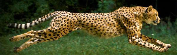 Yavaş Çekimde Çita